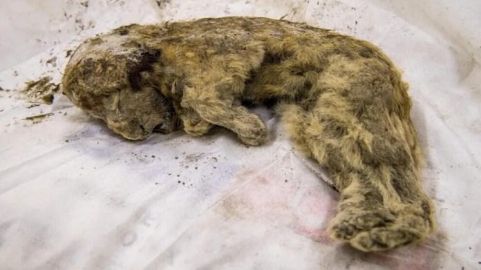 Sibirya'da 28 bin yıllık bir aslan yavrusu cesedi bulundu