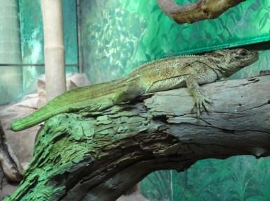 a giant lizard
