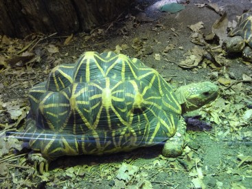 A star tortoise
