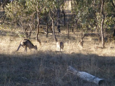 Kangeroos at the start of the ride