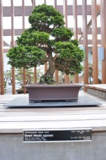 one of the trees in the bonsai collection.