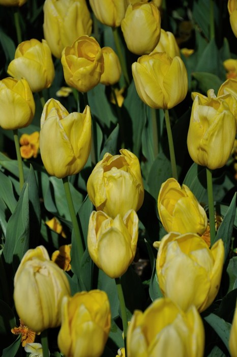 Yellow tulips (I think!)