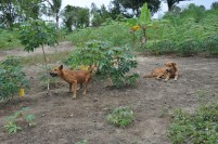 Dua anjing di sebuah kampung di Pulau Galang.