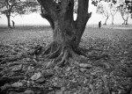 Mangrove terakhir di Pulau Puteri, Nongsa.