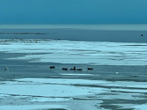 Ducks on Lake Huron in January, in North Michigan