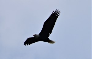 photo of a bald eagle flying by Yeshuas Child Art