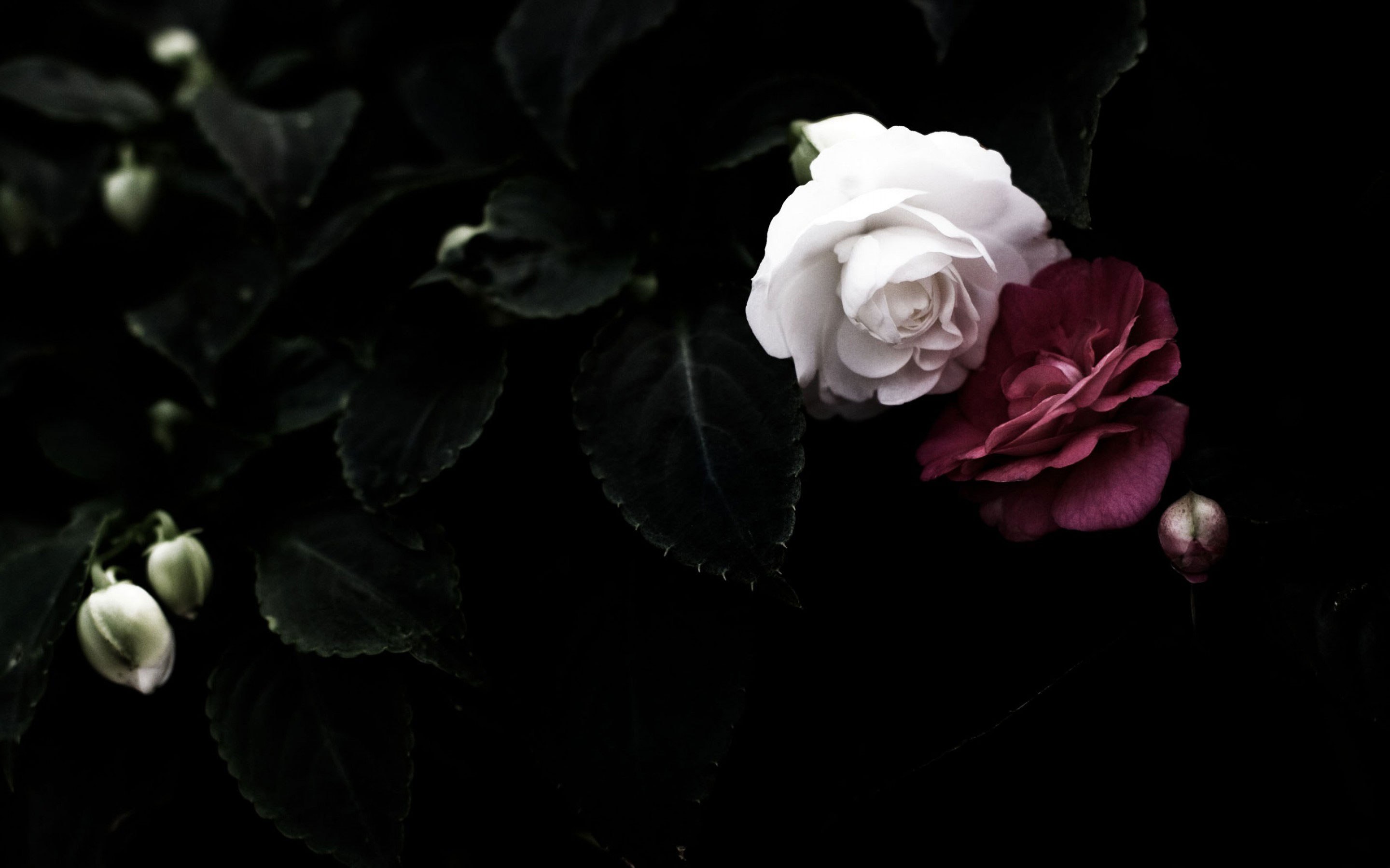 Looking for white aesthetic gifs? Black Rose Wallpapers High Quality | Download Free