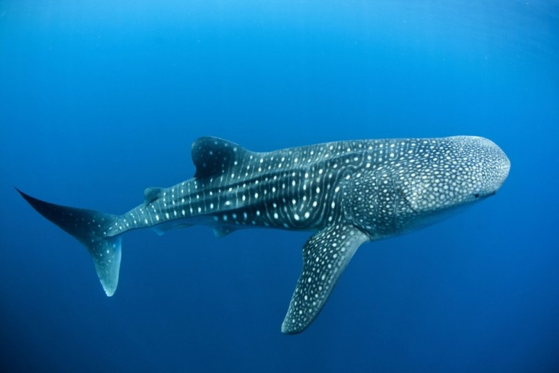 Whale Shark Wallpapers High Quality Free