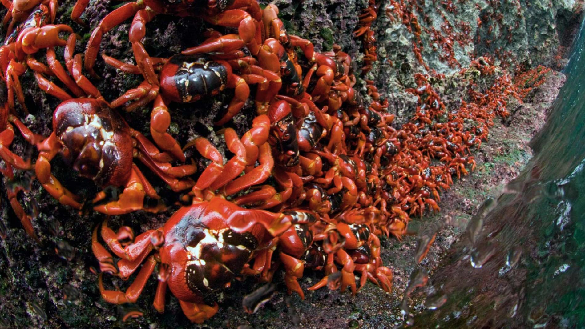 Migration Of Red Crabs In Australia Wallpapers High