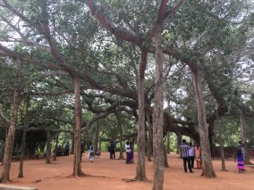Banyon tree at the center of Auroville