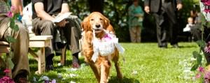 Perro llevando los anillos en boda