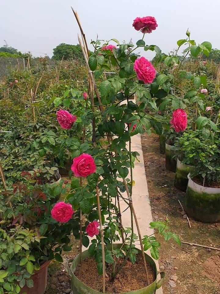 cây hoa hồng kate