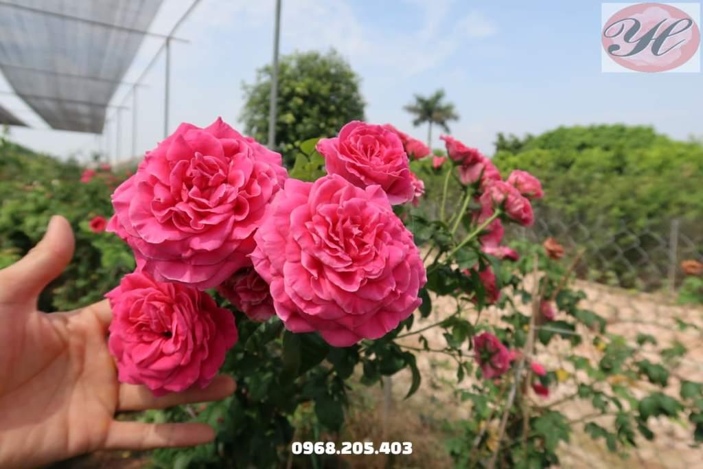 hoa hồng bán leo kate