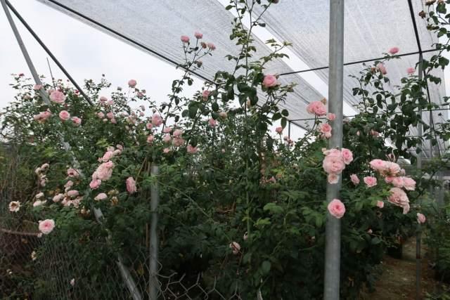 hoa hồng leo mon (2)
