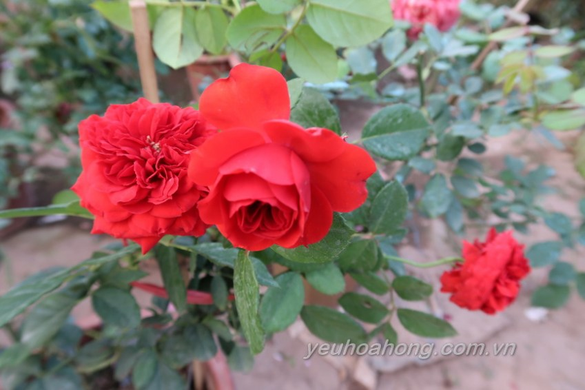 Red apple rose