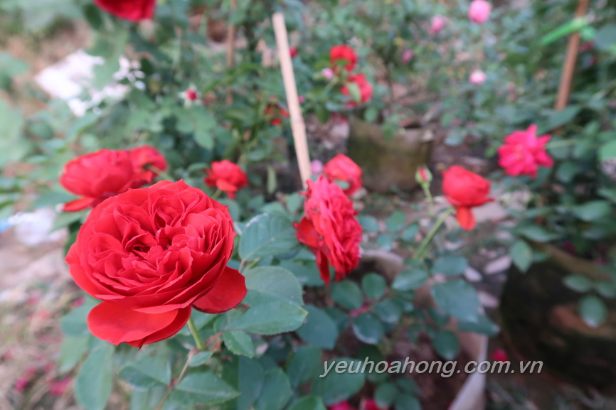 Red apple rose 2