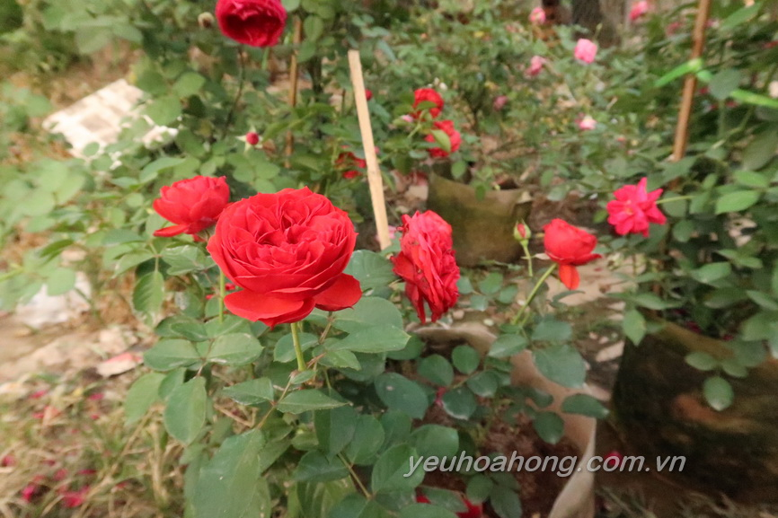 Red apple rose 3