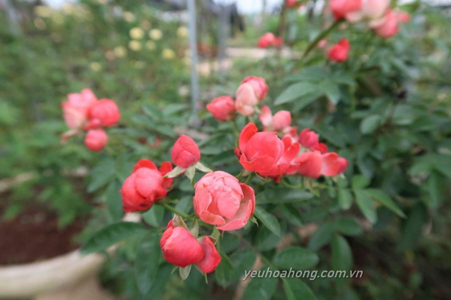 Hoa hồng trứng màu cam