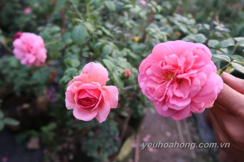 Hồng leo Kent rose