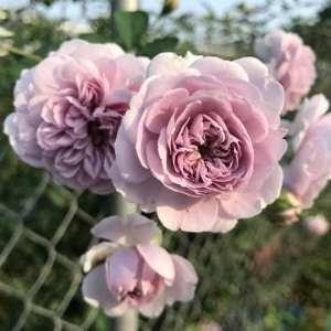 hoa hồng leo rainy blue