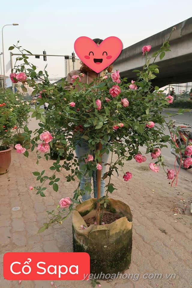 Hồng cổ sapa tree rose