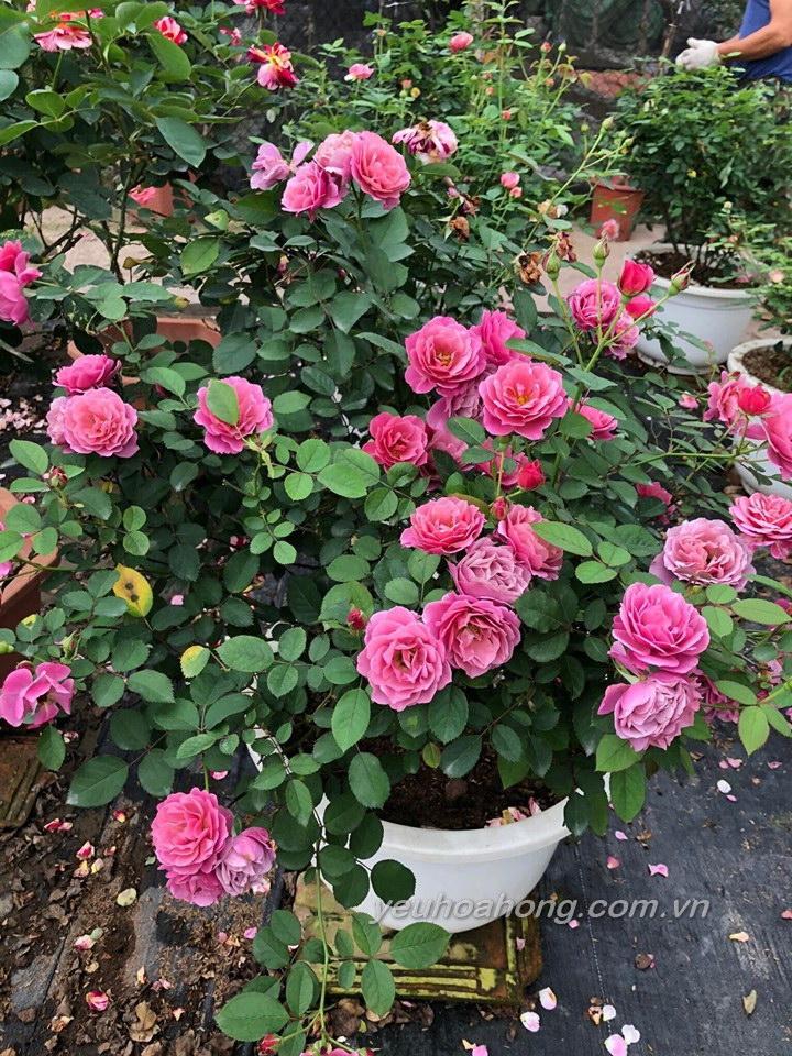 Aoi rose