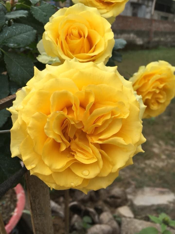 Hoa hồng vàng Shell rose
