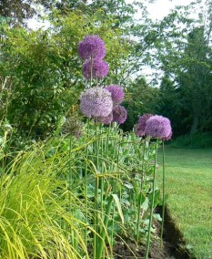 june alliums 2JPG