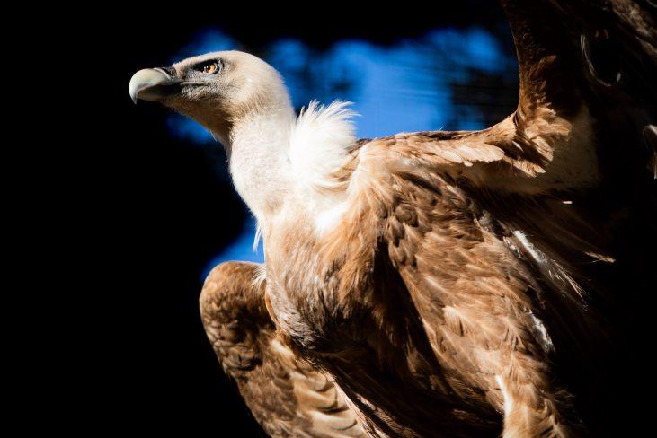 Vulture_investors