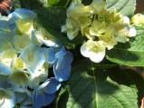 美麗的繡球花