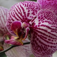 Phalaenopsis Hybrid (Pink spot on white)