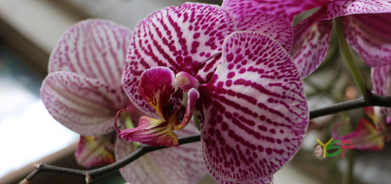 Phalaenopsis Hybrid (Pink spot on white)