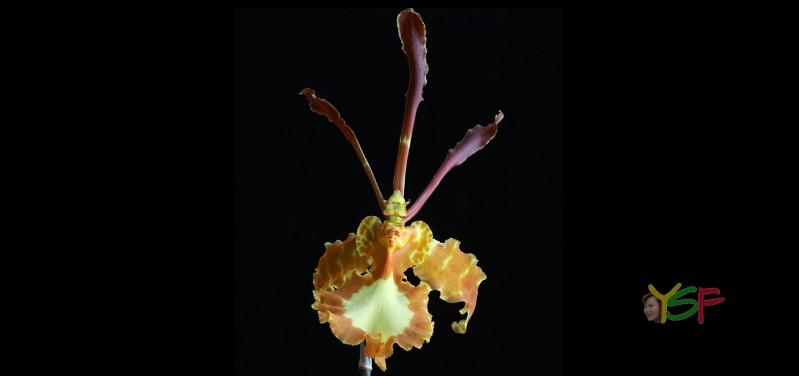 Oncidium Papilio (psychosis)