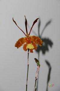 Oncidium Papilio (Psychopsis)