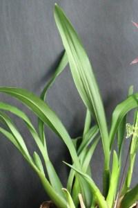 Brassia Miltassia Royal Robe