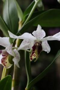 Dendrobium Roy Tokunaga 'Dark Lip' x 'Spots'