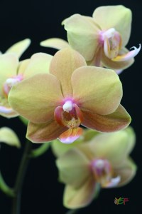 Doritaenopsis Jiuhbao Queen Diamond