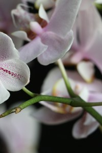 Phalaenopsis Hybrid (Pink) (Abnormal flower formation)