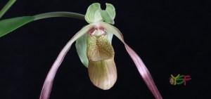 Phragmipedium Demetria (caudatum x sargentianum)