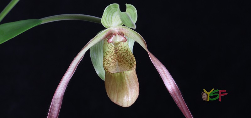 Phragmipedium Demetria
