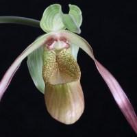 Phragmipedium Demetria