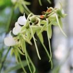 Angraecum ebumeum ssp. xerophilum