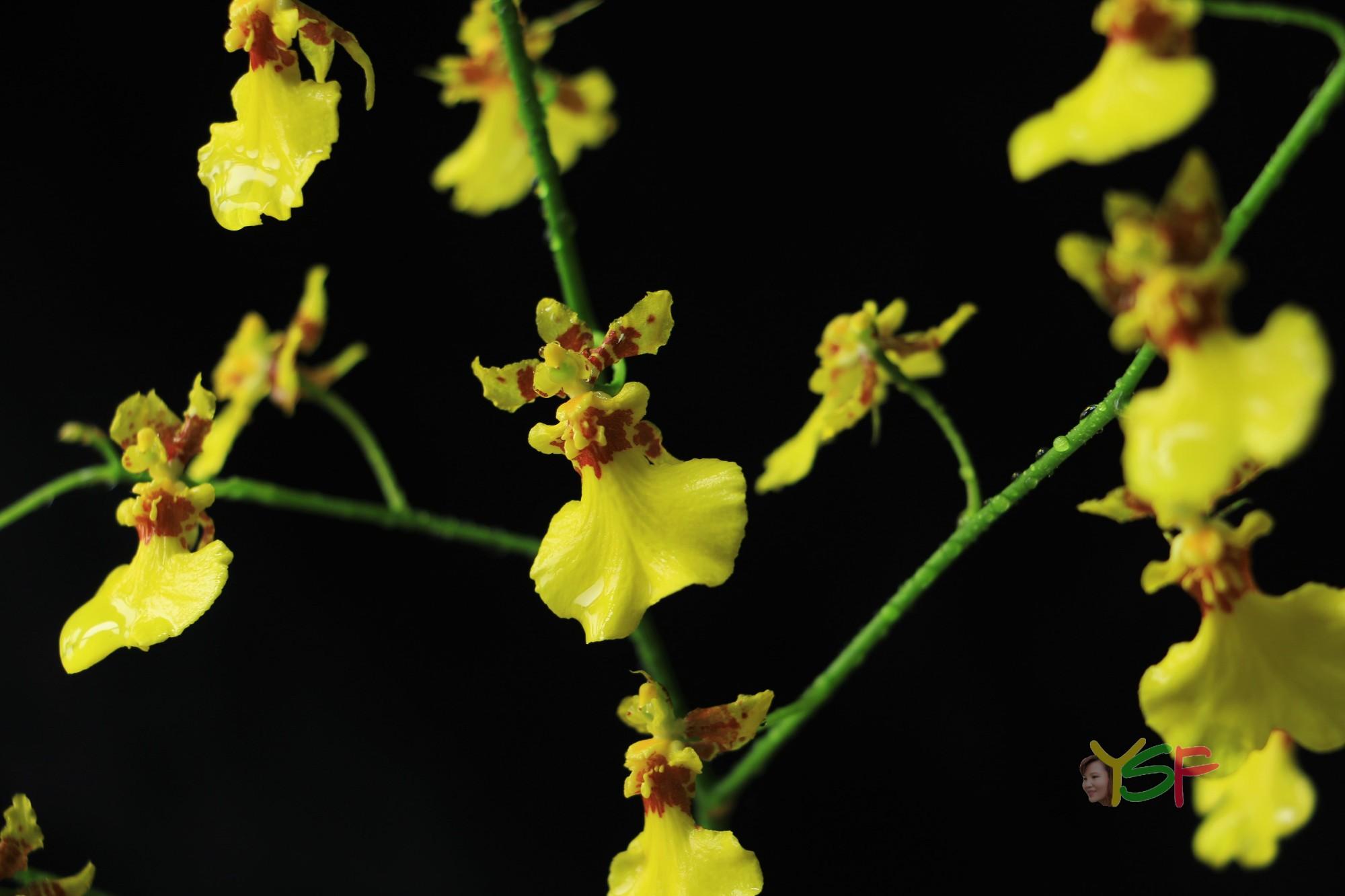 Resultado de imagem para oncidium aloha iwanaga