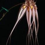 Bulbophyllum Elizabeth Ann 'Jean' HCC/AOS