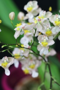 Oncidium Twinkle 'White-Light Pink'