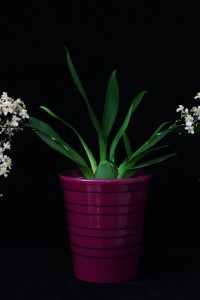 Oncidium Twinkle 'White-Light Pink'