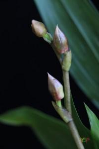 Zygonisia Snow Bird 'Kaila' HCC/AOS