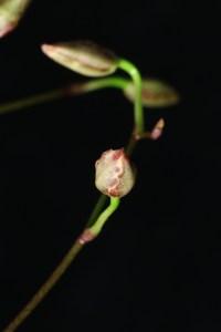 Wilsonara Kolibri