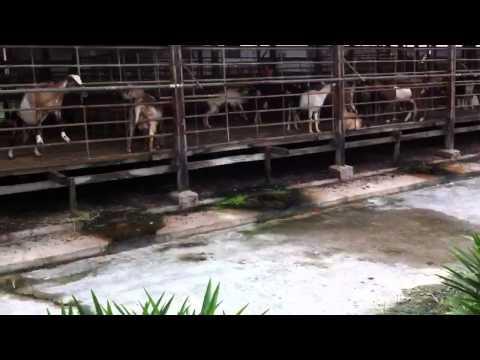 Yining at Hay Goat Farm