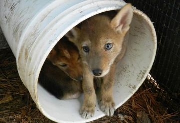 coyote pups when they were brought into the center